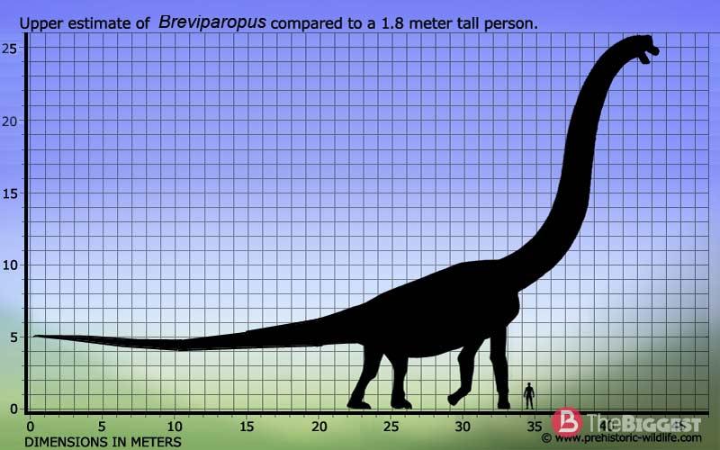 Сравнительные размеры Бревипаропа и человека