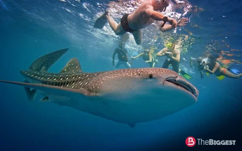 Китовая акула самая большая в мире