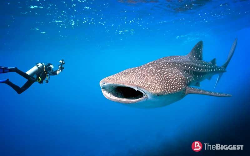 Китовая акула ( Rhincodon typus)