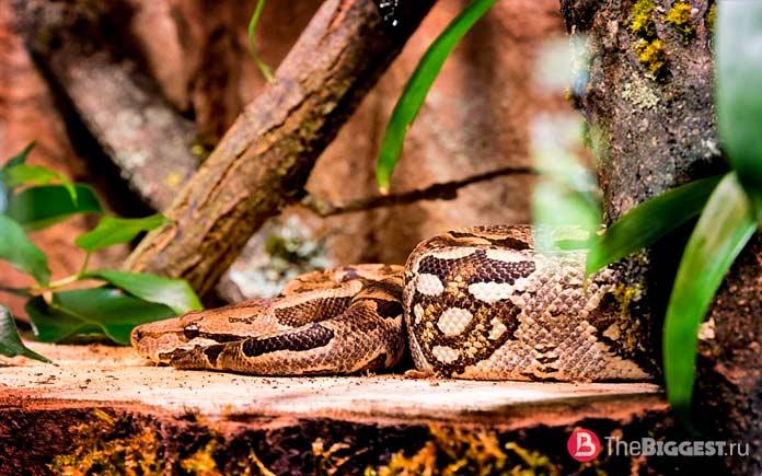 Анаконда (Eunectes murinus) - одна из самых больших змей