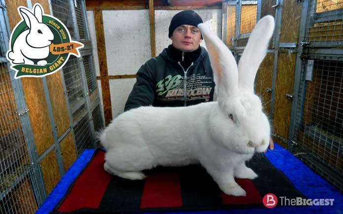 Фламандский кролик