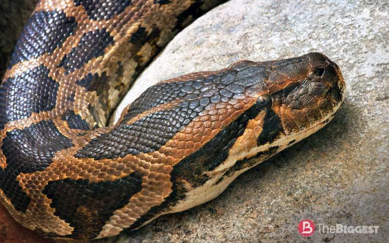 Python molurus molurus