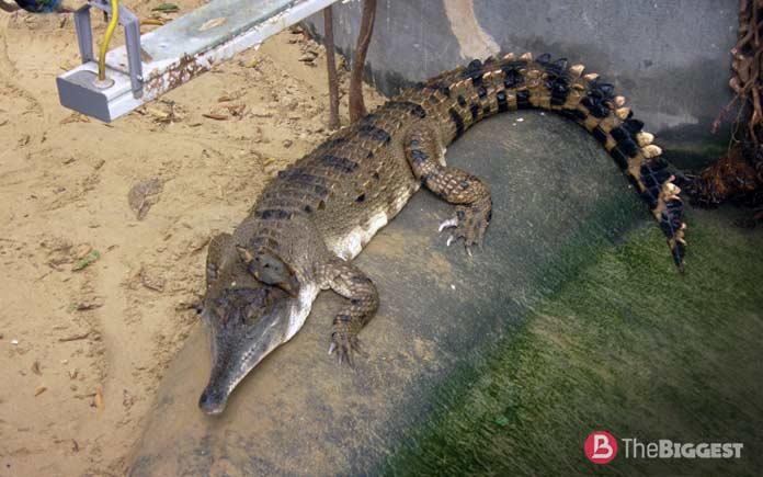 Самые большие крокодилы: Африканский узкорылый