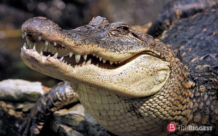 Самые большие крокодилы: Аллигатор