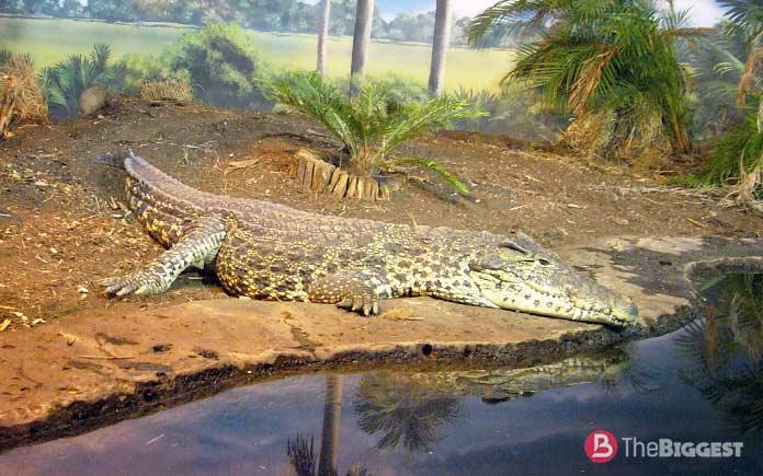 Самые большие крокодилы: Кубинский