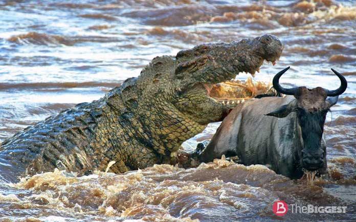 Самые большие крокодилы: Нильский крокодил