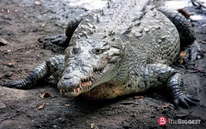 Самые большие крокодилы: Острорылый крокодил
