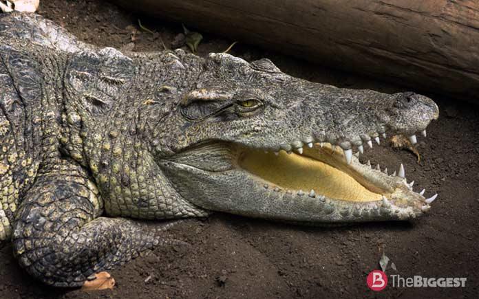 Самые большие крокодилы: Центральноамериканский