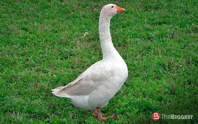 Самые крупные породы гусей: Арзамасская порода гусей