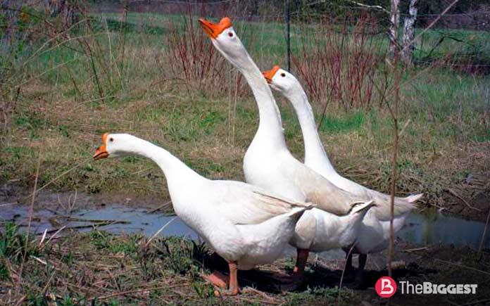 Самые большие породы гусей: Китайская порода гусей