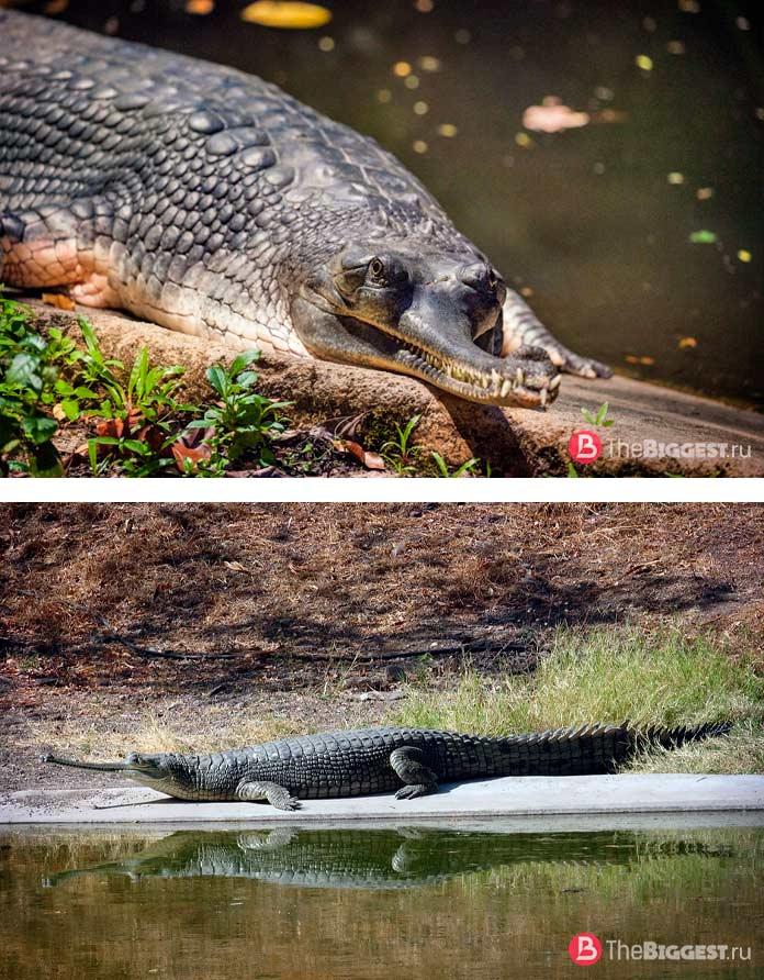 Самые большие крокодилы: Гавиал. CC0