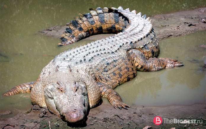 Самые большие крокодилы: Гребнистый крокодил. CC0