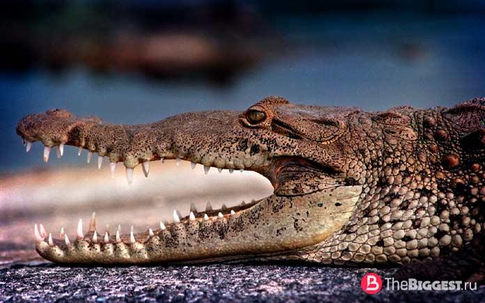 Самые большие крокодилы в мире. CC0