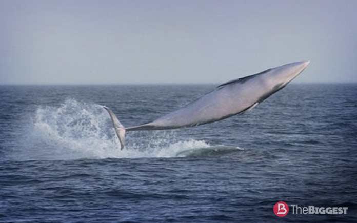 Самые большие киты: Малый полосатик