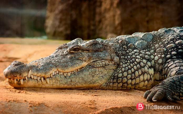 Нильский крокодил. СС0