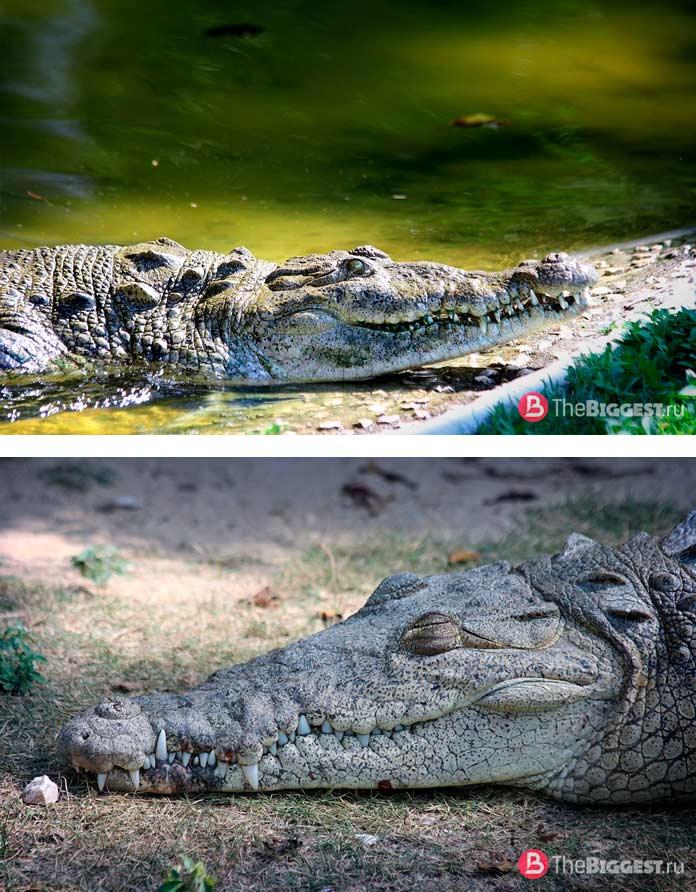 Острорылый крокодил. CC0
