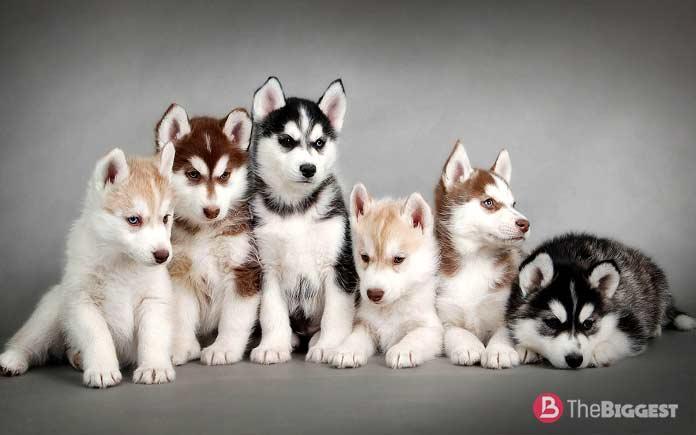Сибирский хаски, рабочая собака