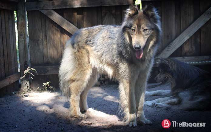 Волкособ - гибрид между серыми волками и собаками