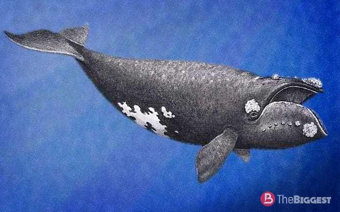 Самые большие киты: японский кит
