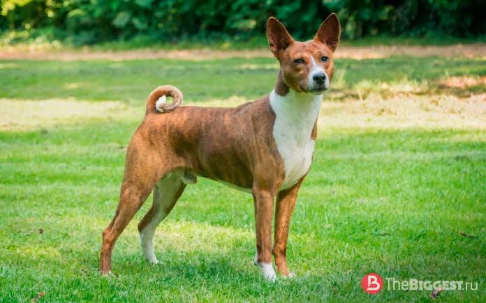 Самые опасные собаки в мире: Басенджи. CC0