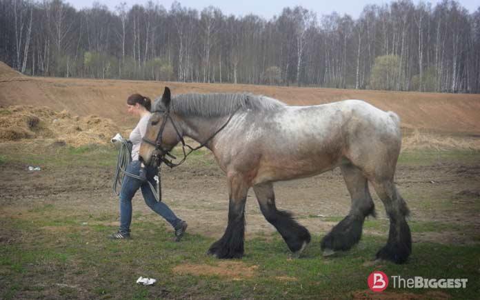 Очень большие лошади: Брабансон