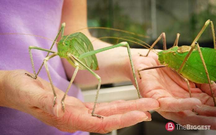 Самые большие насекомые: Гигантский длинноногий кузнечик