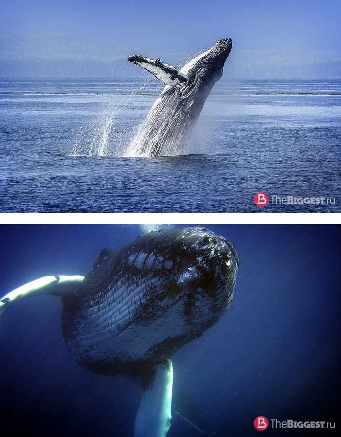 Самые большие киты: Горбатый кит. CC0