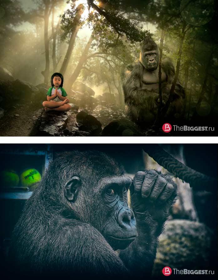 Гориллы - Самые большие обезьяны в мире. CC0