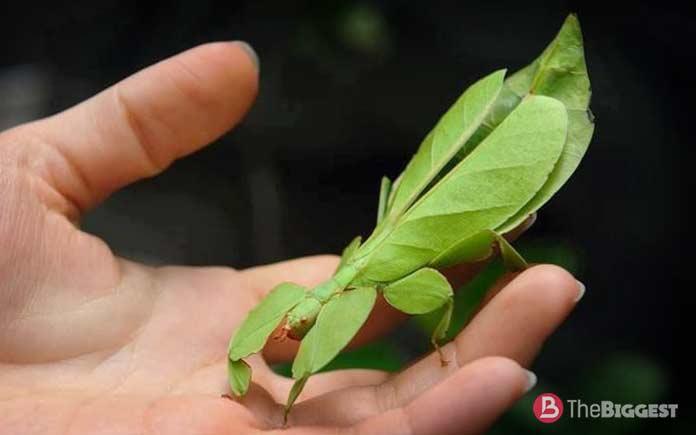 Самые большие насекомые: Листотел