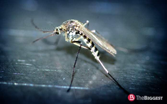 Малярийный москит