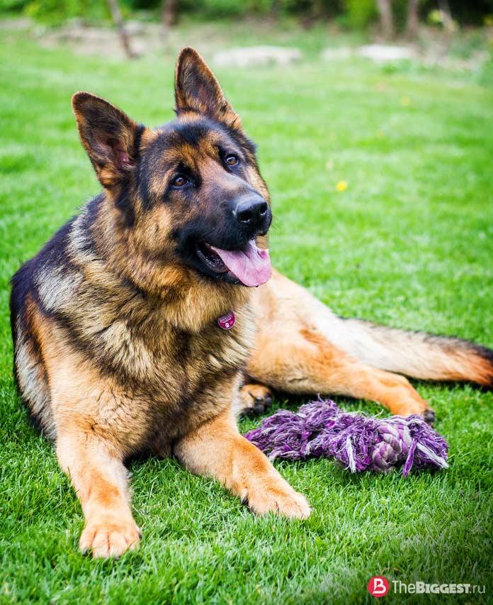 Самые опасные собаки в мире: Немецкая овчарка. CC0