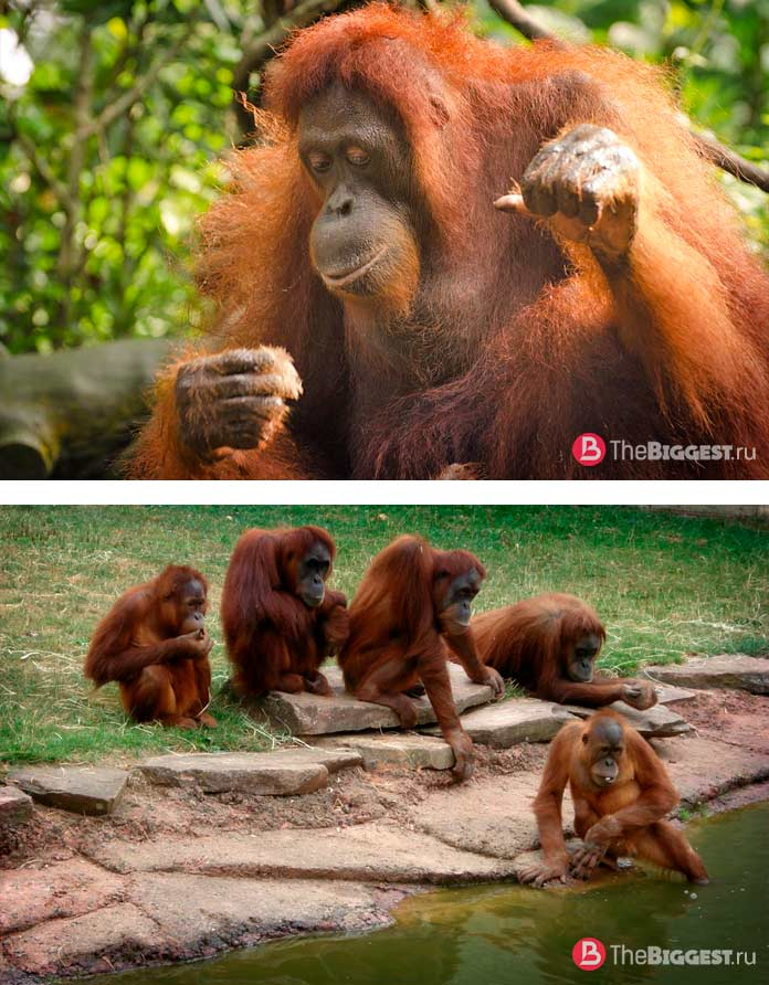 Орангутанги - одни из самых больших обезьян в мире. CC0