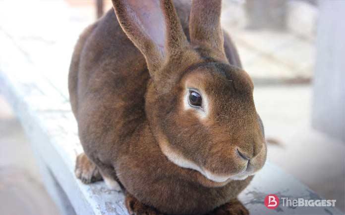 Самые большие кролики: порода Рекс