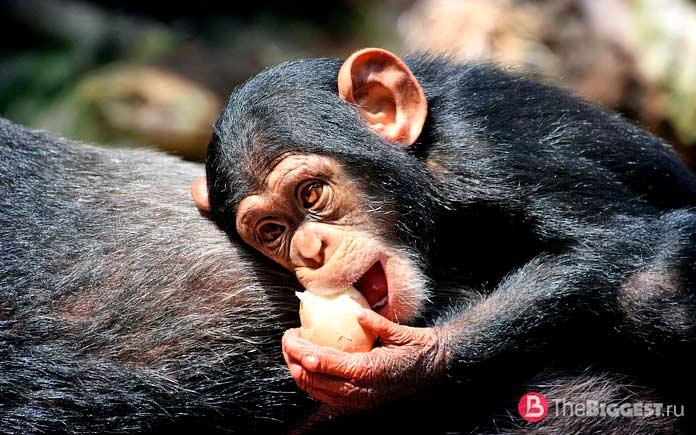 Шимпанзе - одни из самых больших обезьян в мире. CC0