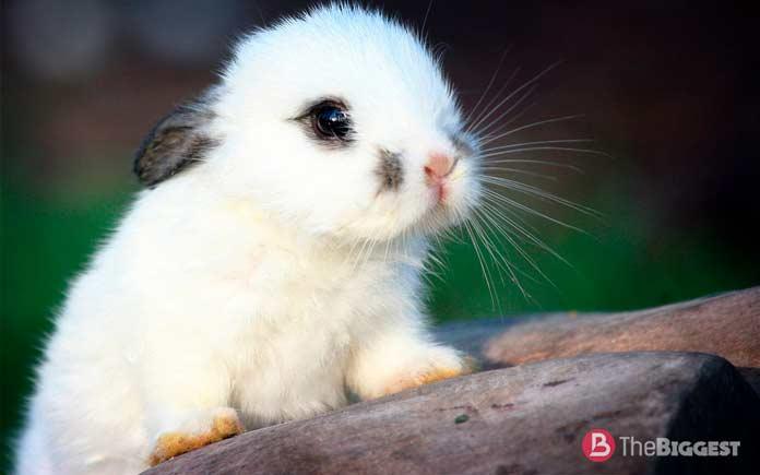 крольчонок. Самые большие кролики