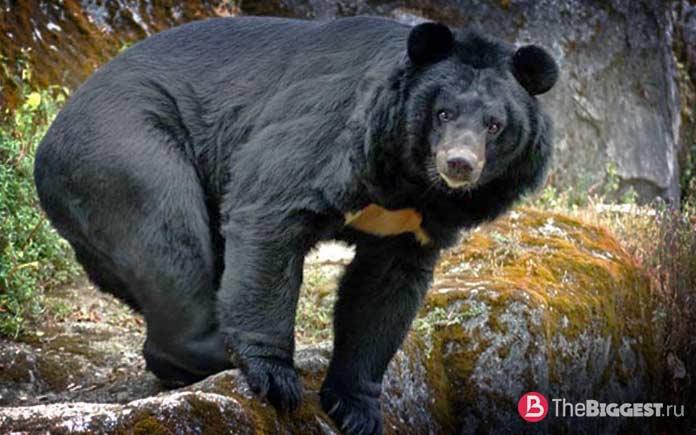 Американский черный медведь