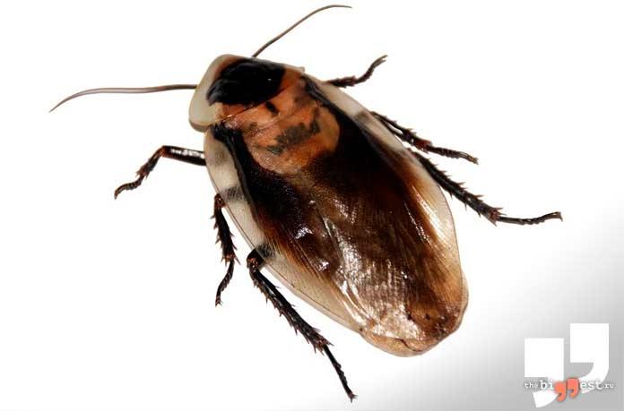 Тараканы могут подолгу обходиться без пищи. CC0