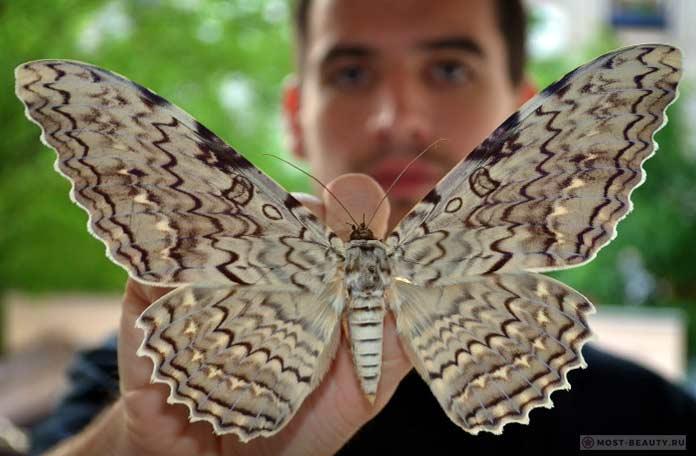Совка агриппина - самая большая бабочка в мире