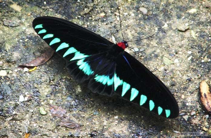 Trogonoptera trojana