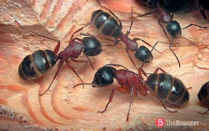 Самые большие муравьи в мире (Фото и описание)