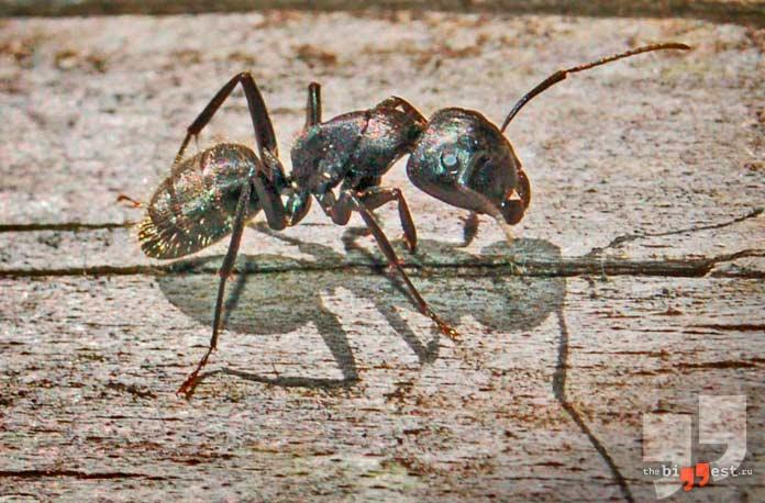 Самые большие муравьи: Camponotus vagus