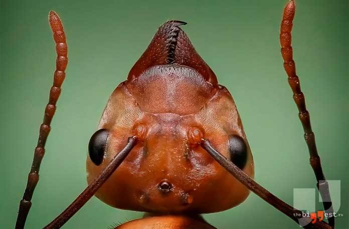 Макро фото муравья. CC0