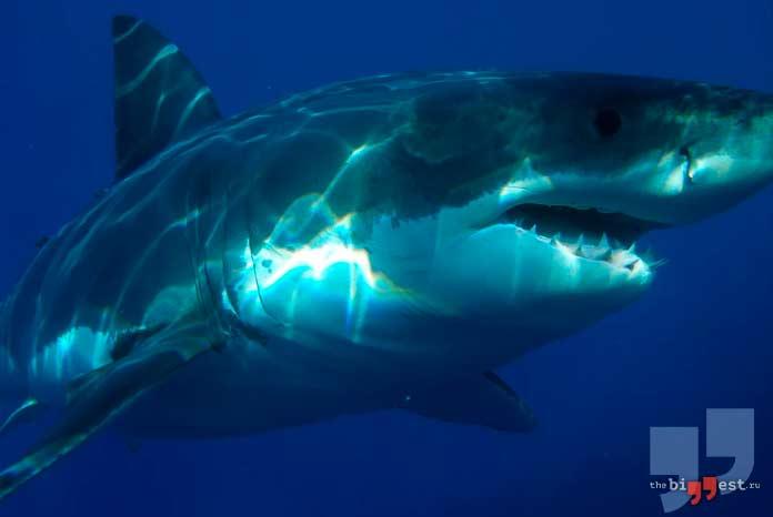 самые большие рыбы: Большая белая акула. CC0