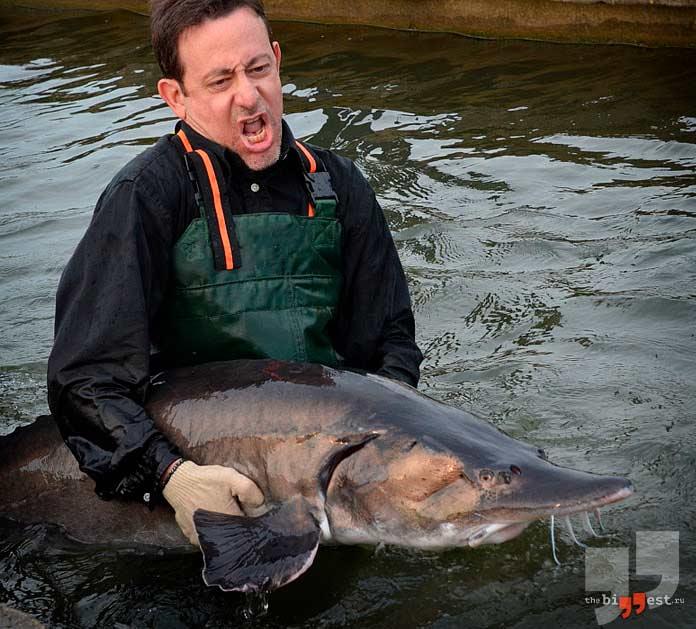самые большие рыбы: Белуга. CC0