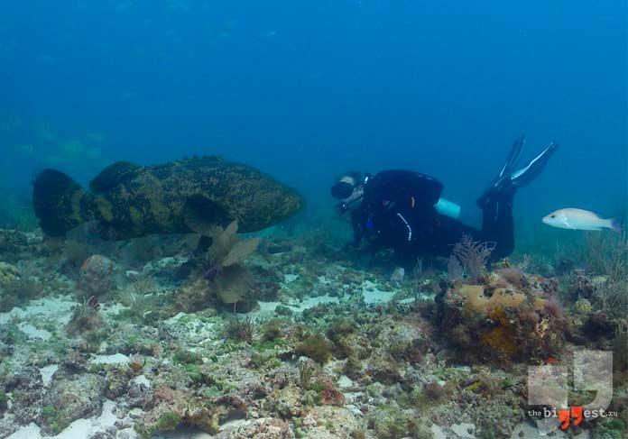 самые крупные рыбы: Гуаса. CC0