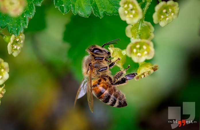 Пчела. CC0