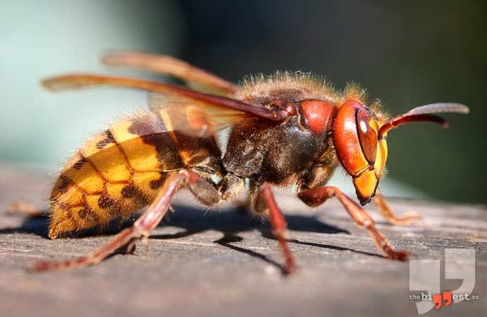 Самые быстрые насекомые: Шершень. CC0