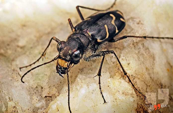 Самые быстрые насекомые: Жук-скакун. CC0