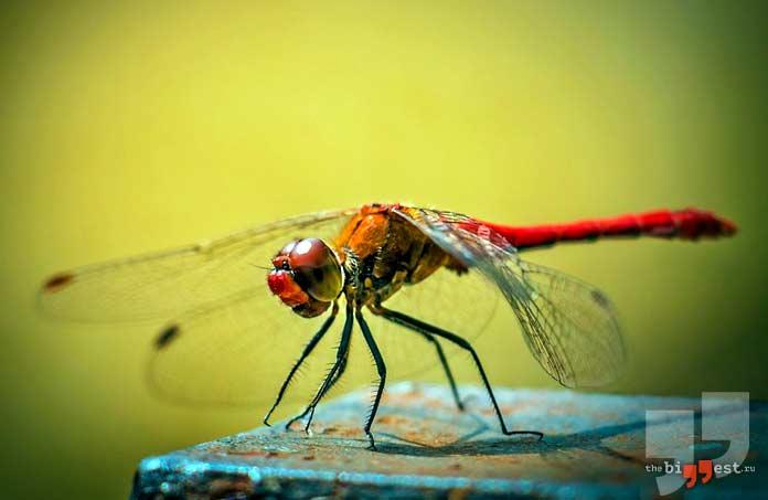 Самые быстрые насекомые: Стрекоза. CC0