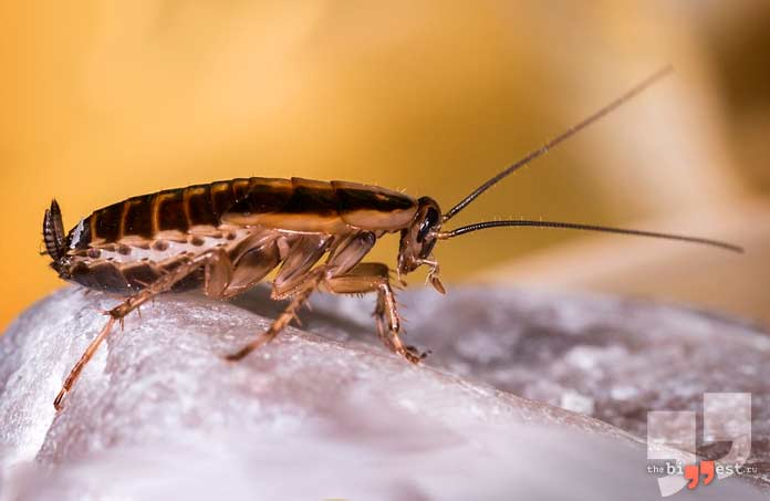 Самые быстрые насекомые: Тараканы. CC0